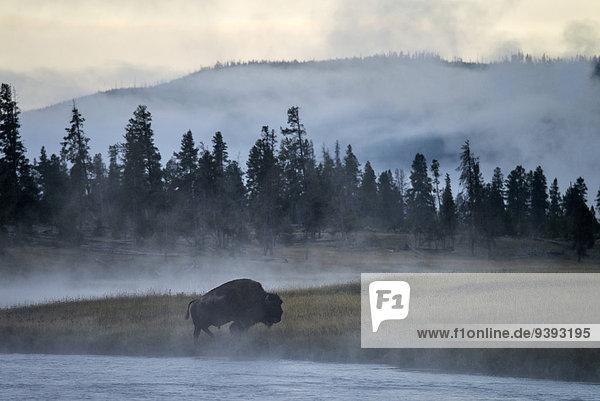 Vereinigte Staaten von Amerika USA Nationalpark Amerika Tier Fluss Wärme Büffel Yellowstone Nationalpark Bison Wyoming