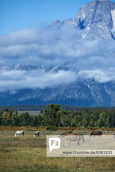 Vereinigte Staaten von Amerika USA Nationalpark Berg Amerika Tier Grand Teton Nationalpark Wyoming