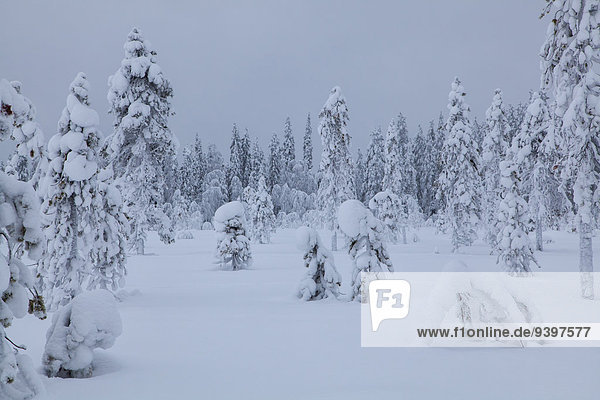 Trees  Europe  Finland  Kuertunturi  scenery  landscape  Lapland  snow  white  wood  forest  winter  Akäslompolo