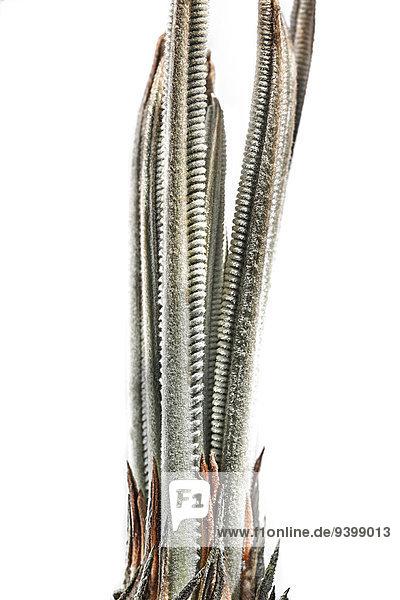 Neue Triebe einer Yuccapalme