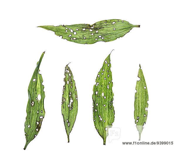 Pflanzenblatt Pflanzenblätter Blatt Lilie
