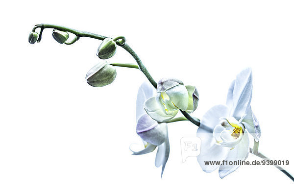 Stängel einer Orchidee