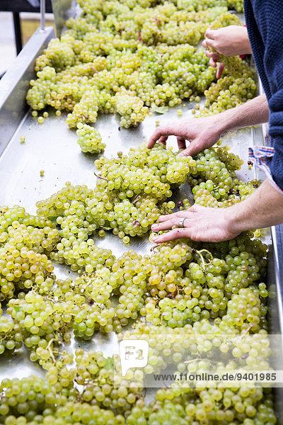 Mann Wein grün See Weintraube sortieren Geographie neu Weinberg
