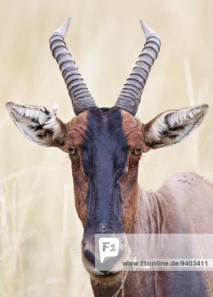 Pampashase Dolichotis patagonum Leierantilope Damaliscus lunatus ungestüm Masai Pampashase,Dolichotis patagonum,Leierantilope,Damaliscus lunatus,ungestüm,Masai