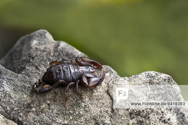 Deutscher Skorpion  Alpenskorpion (Euscorpius germanus)  Tirol  Österreich