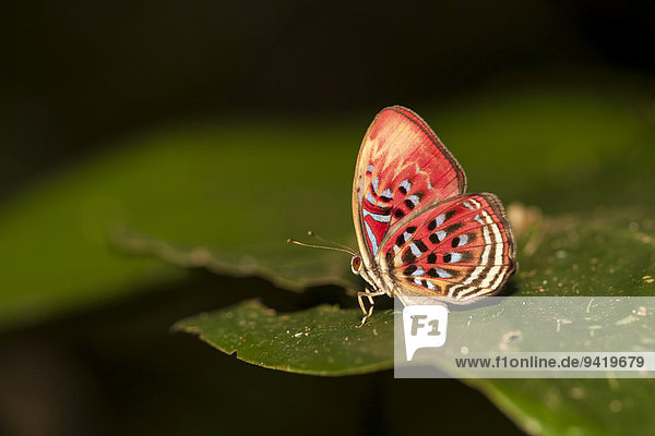 Paralaxita telesia Schmetterling ruht auf Blatt  Kinabatangan  Sabah  Malaysia  Borneo