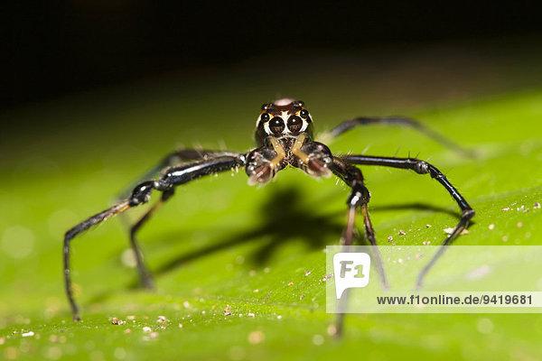 Jagdspinne  nicht identifizierte Spezies  auf Blatt  Kinabatangan  Sabah  Malaysia  Borneo