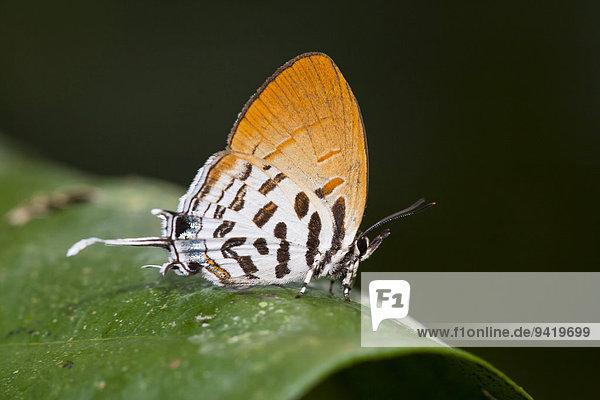 Drupadia ravindra moorei Schmetterling ruht auf Blatt  Kinabatangan  Sabah  Malaysia  Borneo