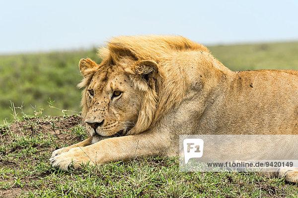 Löwe (Panthera leo)  Serengeti  Tansania Löwe (Panthera leo), Serengeti, Tansania