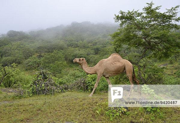 Dromedar (Camelus dromedarius) läuft während der Monsun-Zeit  Khareef-Season  durch die grüne Bergwelt  Wadi Derbat  bei Salalah  Dhofar-Region  Oman Dromedar (Camelus dromedarius) läuft während der Monsun-Zeit, Khareef-Season, durch die grüne Bergwelt, Wadi Derbat, bei Salalah, Dhofar-Region, Oman