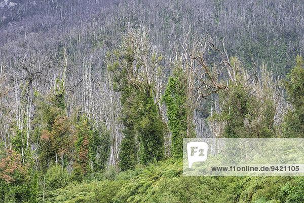 Durch Ausbruch des Vulkans Chaitén zerstörter Wald  bei Puente los Gigios  Pumalín Park  Chaitén  Región de los Lagos  Chile