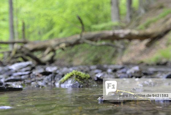 Barred Fire Salamander (Salamandra salamandra ssp. Terrestris) on a moss-covered stone in Stolberg  Saxony-Anhalt  Germany Barred Fire Salamander (Salamandra salamandra ssp. Terrestris) on a moss-covered stone in Stolberg, Saxony-Anhalt, Germany
