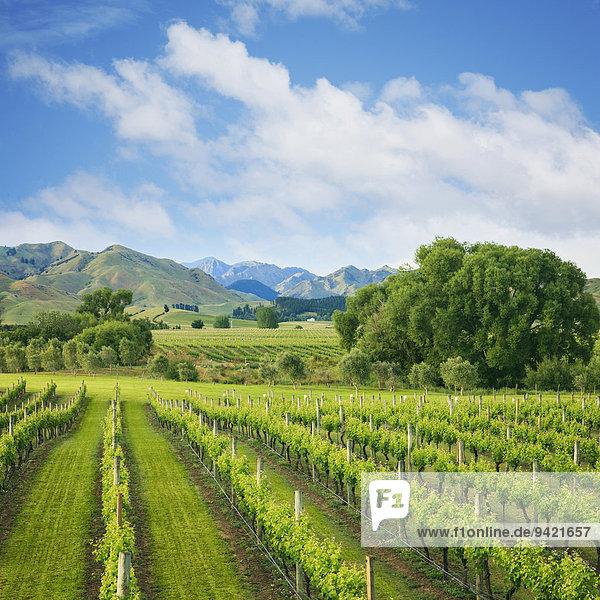 Weinberg unterhalb der Berge im Weinanbaugebiet Marlborough  Südinsel  Neuseeland
