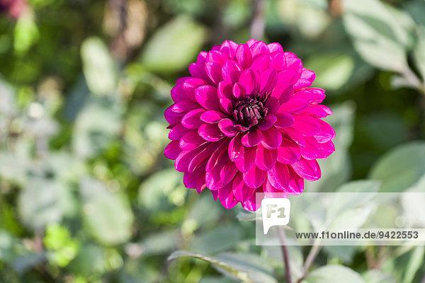 Blüte einer Dahlie 'Purple Flame'