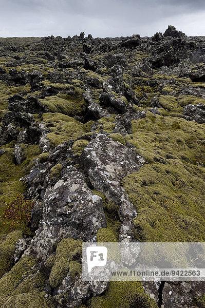 Verlängertes Zackenmützenmoos (Niphotrichum elongatum)  Lava  Lavafeld  Reykjanes  Island