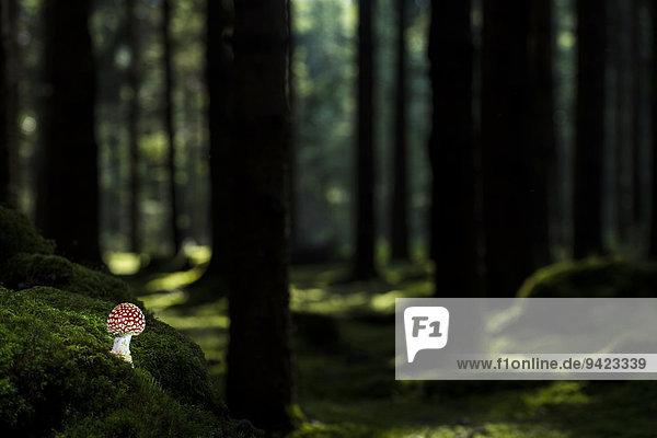 Fliegenpilz (Amanita muscaria) auf Waldboden mit Fichtenwald  Deutschland