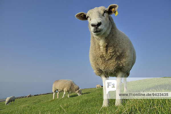 Sheep (Ovis aries) on a dike  Pellworm  North Frisia  Schleswig-Holstein  Germany