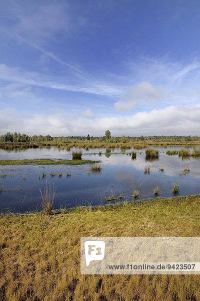 Vernässtes  renaturiertes Hochmoor mit Teichbinsen (Schoenoplectus lacustris)  ehemaliges Torfabbaugebiet  Raubling  Oberbayern  Bayern  Deutschland