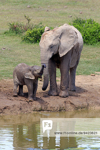 Afrikanische Elefanten (Loxodonta africana)  Weibchen mit Jungtier am Wasser  trinkend  Addo Elephant Nationalpark  Ostkap  Südafrika