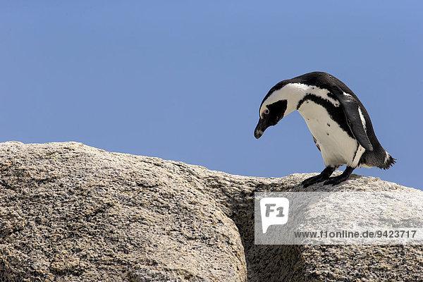 Brillenpinguin (Spheniscus demersus)  adult auf Felsen  Boulders Beach  Simon's Town  Westkap  Südafrika