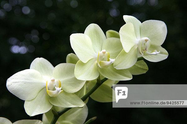 Orchidee (Orchidaceae)  Blüte