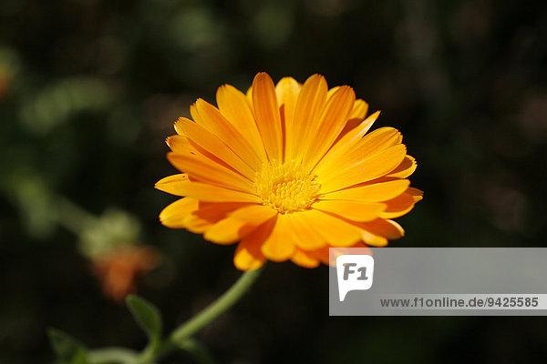 Ringelblume (Calendula sp.)  Blüte