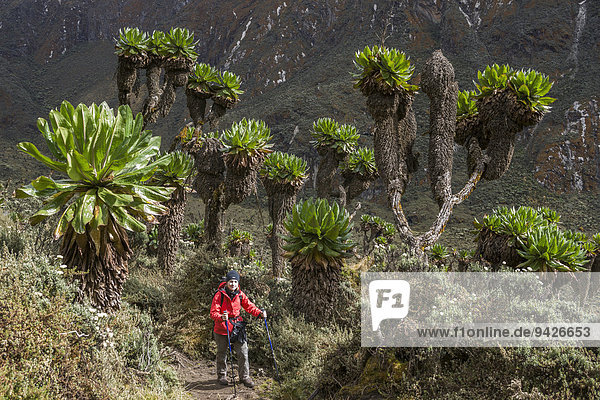 Frau wandert neben Giant Groundsels (Dendrosenecio) im Ruwenzori-Gebirge  Kasese  Uganda