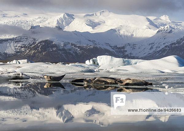 Seerobben sonnen sich vor verschneiten Bergen  Gletscherlagune Jökulsarlon  Südküste Island