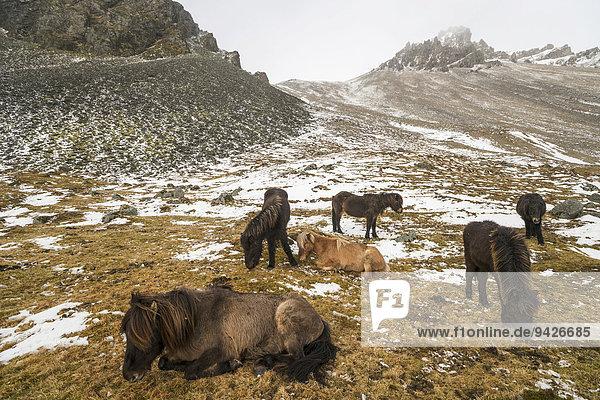 Islandponys harren aus im Winter vor verschneiten Bergen  Vestrahorn  Stokksnes  Höfn  Island
