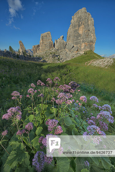 Cinque Torri oder Fünf Türme mit blauem Himmel und eine Wiese mit violetten Blüten im Vordergrund  Dolomiten  Venetien  Italien