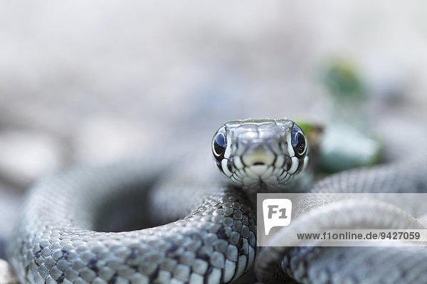 Grass snake (Natrix natrix)  young animal  Kliekener Aue  Saxony-Anhalt  Germany
