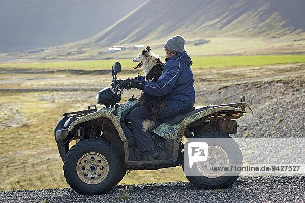Farmer on a quad big  sheepdog  sheep transhumance  near Höfn  Iceland