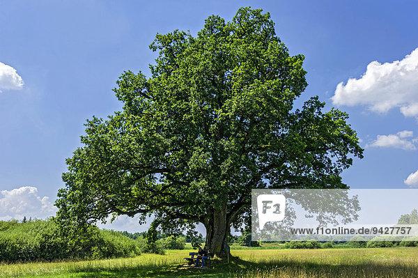 Eiche (Quercus)  sogenannte Mozarteiche  am Klostersee Seeon  Seeon-Seebruck  Chiemgau  Oberbayern  Bayern  Deutschland