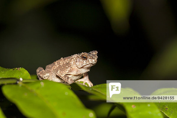Malayische Zwergkröte (Ingerophrynus diver)  Kinabatangan  Sabah  Borneo  Malaysia