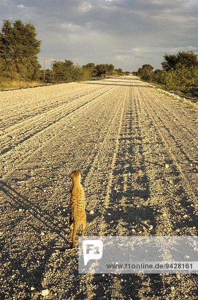 Erdmännchen (Suricata suricatta) steht auf der Straße R31 und schaut in die Ferne  Kalahari-Wüste in Südafrika