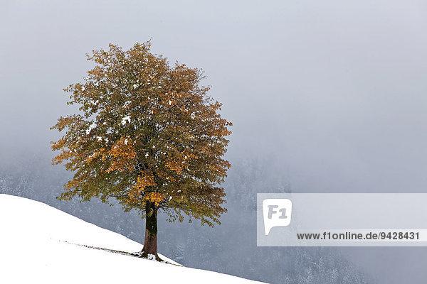 Herbstbaum in den Schweizer Alpen Ostschweiz  Alpstein  Schweiz  Europa