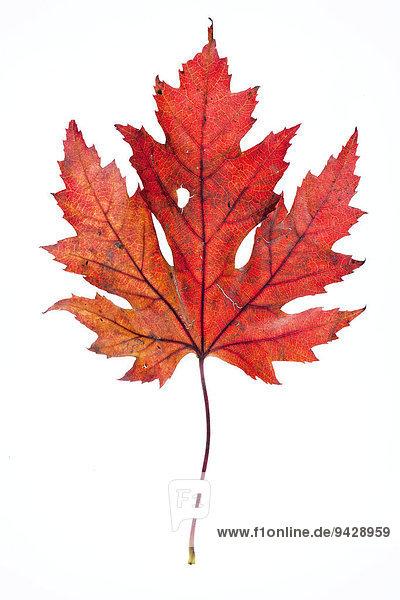 Ahornblatt (Acer) im Herbst