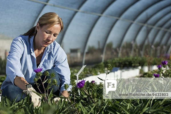 Mature female horticulturalist tending plants in plant nursery polytunnel