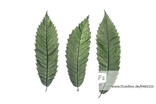 Drei Blätter einer Edelkastanie