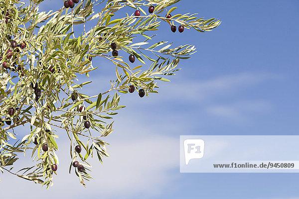 Reife schwarze Oliven an einem Olivenbaum (Olea europaea)  Marokko  Afrika