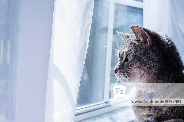 grau Fenster blau hinaussehen Katze Glocke Kragen