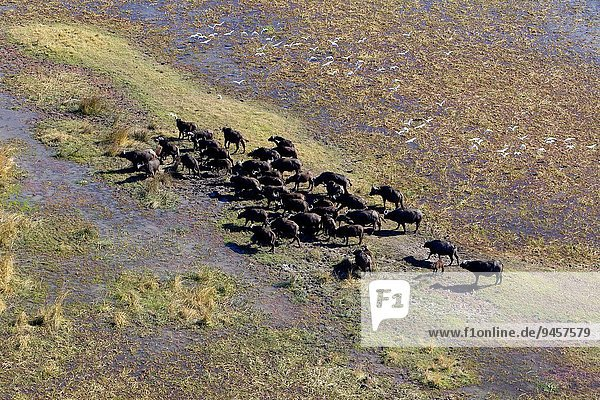 Aerial view of African buffalo or Cape buffalos group (Syncerus caffer)  Okawango Delta  Botswana. The Okavango Delta is home to a rich array of wildlife. Elephants  Cape buffalo  hippopotamus  impala  zebras  lechwe and wildebeest are just some of the large mammals can be found in abundance  drawing in predators such as lions  leopards  African wild dog  cheetah and crocodile. The largest concentrations of wildlife are found during the rainless winter when the Delta is one of the few sources of water in the region.