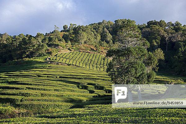 Teeplantage  Cha Gorreana  Maia  Sao Miguel  Azoren  Portugal  Europa