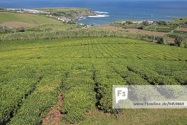 Teeplantage  Cha Porto Formoso  Maia  Sao Miguel  Azoren  Portugal  Europa