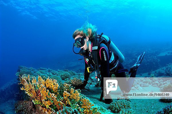 Diver looking at coral reef. Red sea  Egypt  Africa.