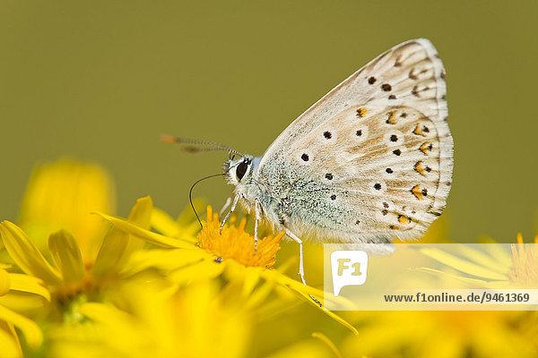 Himmelblauer Bläuling (Polyommatus bellargus  Syn. Lysandra bellargus)  saugt Nektar  Thüringen  Deutschland  Europa