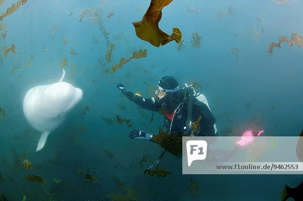 Beluga whale or white whale (Delphinapterus leucas) Sea of Japan  Russky Island  Far East  Primorye  Primorsky Krai  Russia.