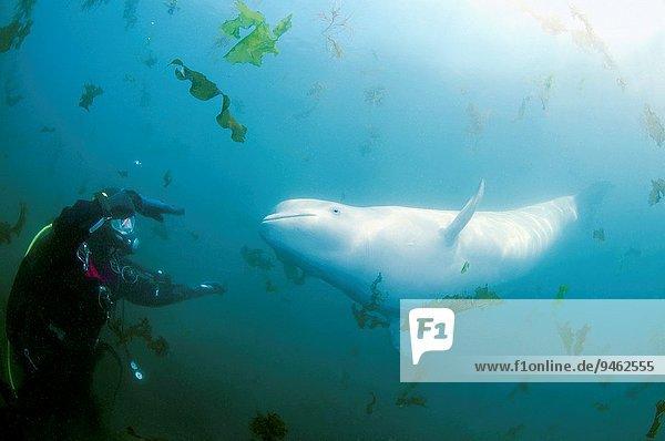 Weißwal Delphinapterus leucas Ostasien weiß Russland Wal