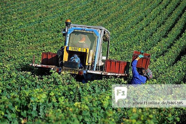 Frankreich Europa ernten Weintraube Weinberg Champagner