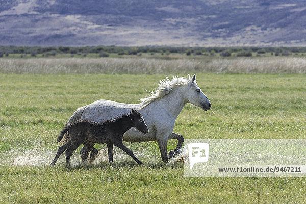 White mare with dark foal running through wet grass  Santa Cruz  Argentina  South America
